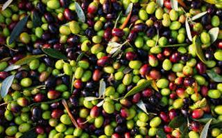 Harvesting of olive. Things to do in Le Grazie