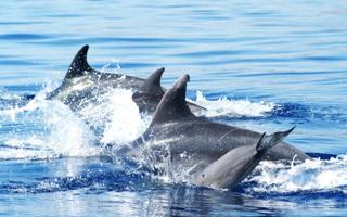 Dolphin whatcing. Things to do in La Maddalena